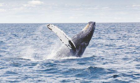 Cum schimbă balenele clima
